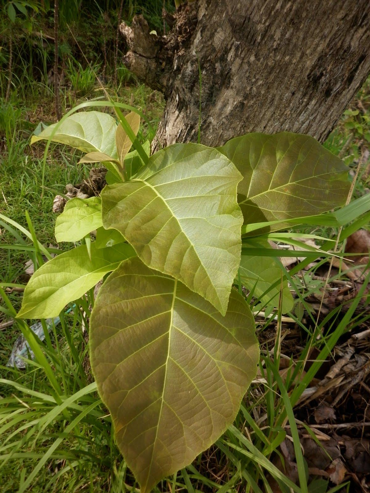 Manfaat pohon jati