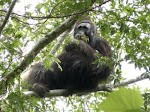 Orangutan hitam, Pongo Pygmaeus Moro  di Kaltim?