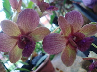 Dendrobium