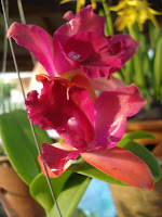Orkid Cattleya