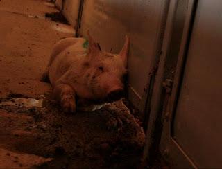Cerdo enfermo que ha sido apartado de los sanos. Muere en un recinto sin acceso a agua ni comida.