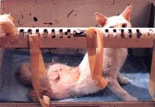 Gato sometido a experimento en laboratorio sobre su espina dorsal; su parálisis es provocada.
