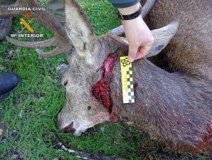 Pieza matada por cazadores furtivos, encontrada por miembros del SEPRONA.
