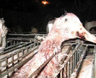 Pésimo y lamentable estado de aves en granja de engorde.