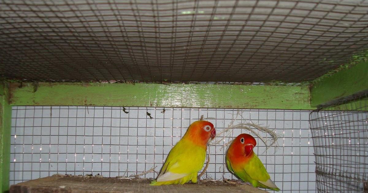 cara merawat love bird   trend burung