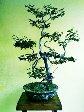 Nilai sepohon bonsai