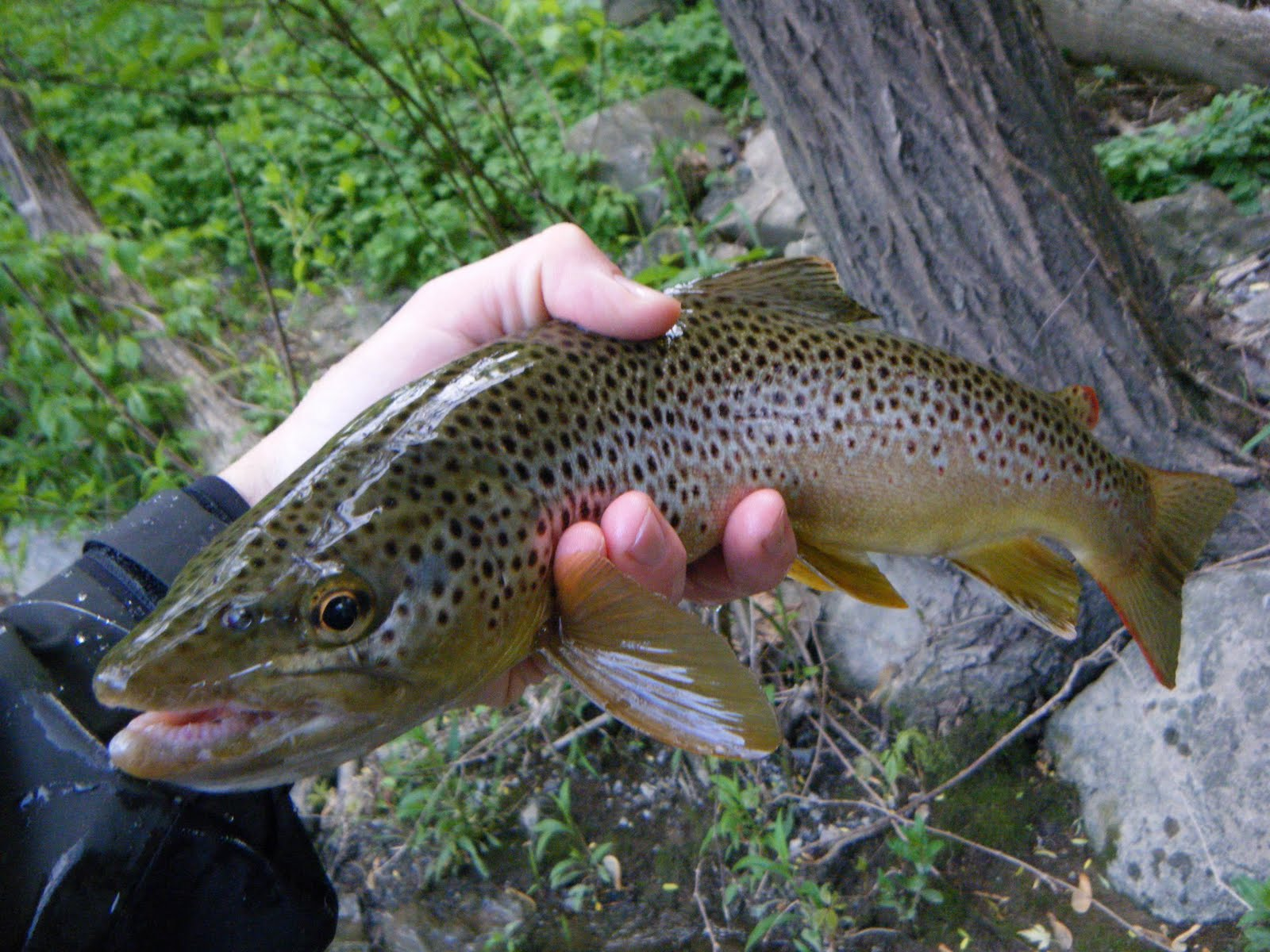 Pa trout for Trout fishing in pa