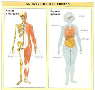 Elena 39 s blog - Interior cuerpo humano organos ...