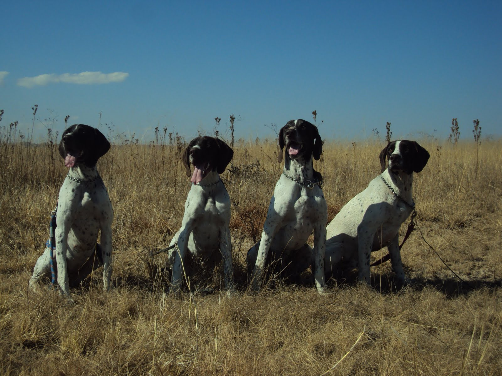 Matotoland Kennel New Generation GSP\'s. HPR Breed & Hunting Dogs ...