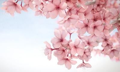 ~Sakura Merah Jambu~