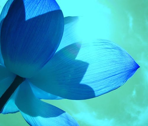 picture beautiful-blue-lotus-flower-petals-photo