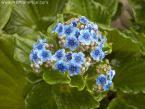 Myosotidium hortensia- Chatham Island Forget-me-not