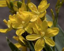 Belamcanda-Blackberry lily, Leopard Flower