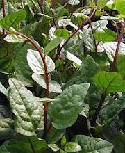 Basella rubra-Malabar Spinach