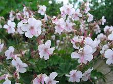 Geranium-Hardy Geranium, Cranesbill