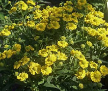 Helenium-Helen's Flower, Sneezewood