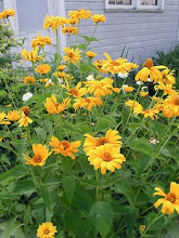Heliopsis-False Sunflower, Heliopsis