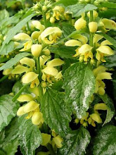 Lamiastrum galeobdolon-Yellow Archangel