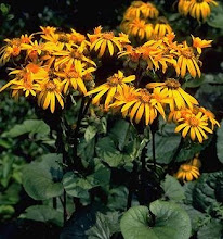 Ligularia-Golden Groundsel, Leopard Plant