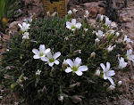 Minuartia verna-Irish Moss, Leadwort