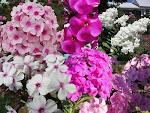 Phlox paniculata-Garden Phlox