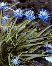 Phyteuma scheuchzeri-Horned Rampion