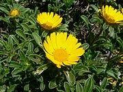 Asteriscus maritimus-Gold Coin Beach Daisy