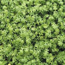 Leptinella gruveri-Miniature Brass Buttons