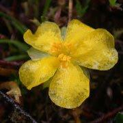 Hibbertia procumbens-Spreading Guinea Flower