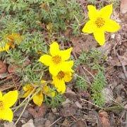 Bidens ferurifolia-Bidens