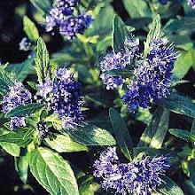 Caryopteris x clandonensis-Bluebeard
