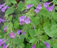 Calamintha grandiflora-Large-flowered Calamint