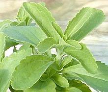 Stevia rebaudiana-Sweetleaf