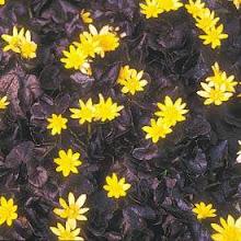 Ranunculus ficaria-Celandine Buttercup or Lesser Celandine