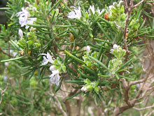 Rosmarinus officinalis-Trailing Rosemary