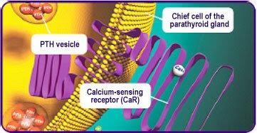 Parathyroid Hormone (