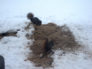 Two squirrels eating the spent grain from yesterday's brew