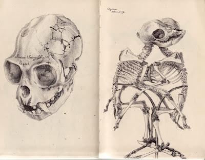 Crâne de Maki vari ou vari roux, simien variegata & Agneau sternopage. Monstre double omphalopage formé de deux jumeaux, opposés, face à face et réunis de l'ombilic à la région sternale qui est dédoublée. Les deux foies et les cœurs sont fusionnés.