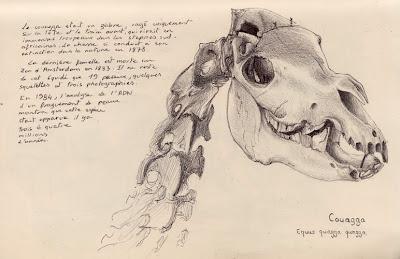 Couagga, Equus quagga quagga