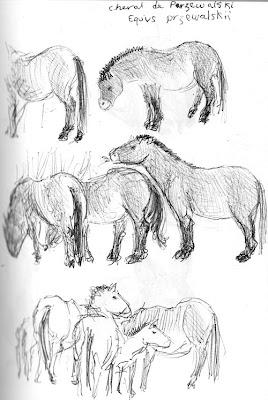 Cheval de Przewalski, Equus przewalskii