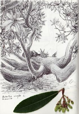 Arbousier, Arbutus unedo