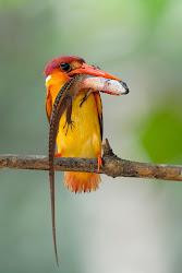 Oriental Dwarf Kingfishers