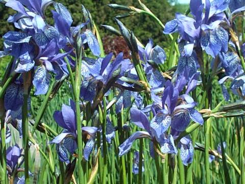 mo 39 s wiesen iris wildpflanze des jahres. Black Bedroom Furniture Sets. Home Design Ideas