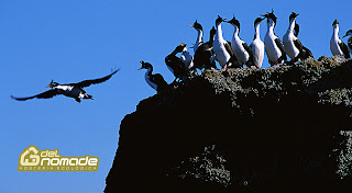 The imperial cormorant in Peninsula Valdes