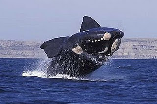Holland magazine, promotes Whale Watching in Peninsula Valdes, Patagonia Argentina