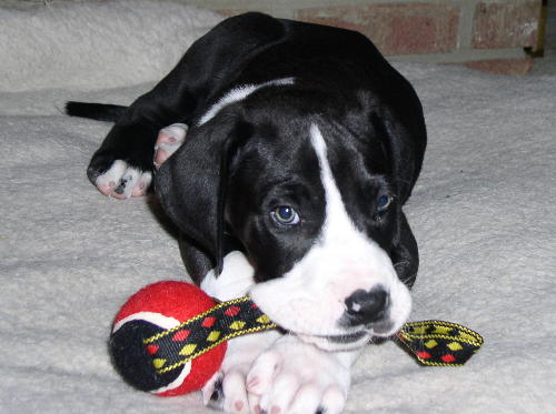 getting a little black kitten and a puppy! My top pick is a great Dane