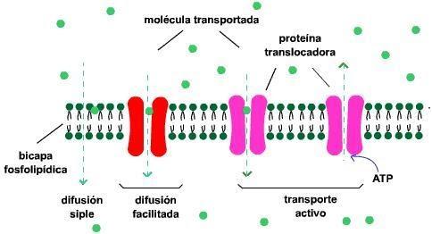 La neurona membrana plasm tica for Membrana para hidropack