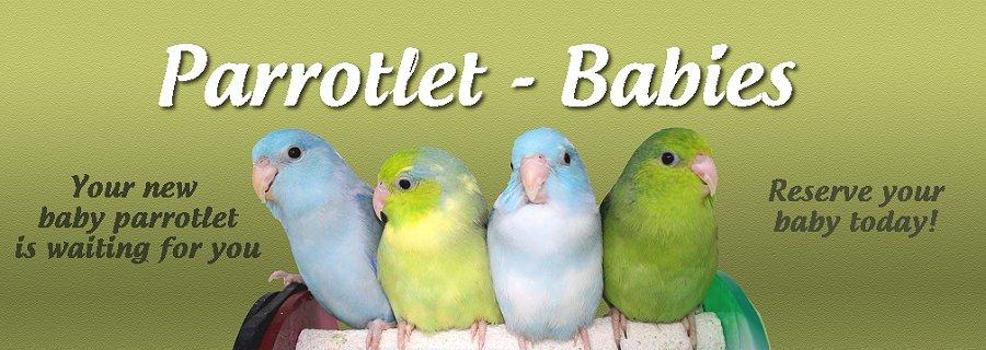 Parrotlet Babies
