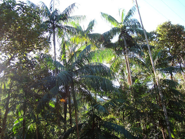 palmeiras juçara