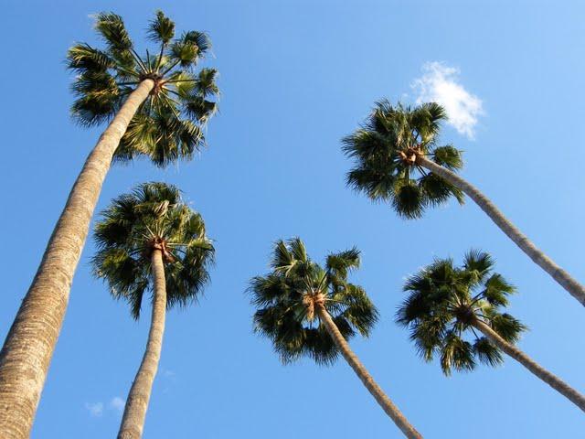 [palmeiras+imperiais]